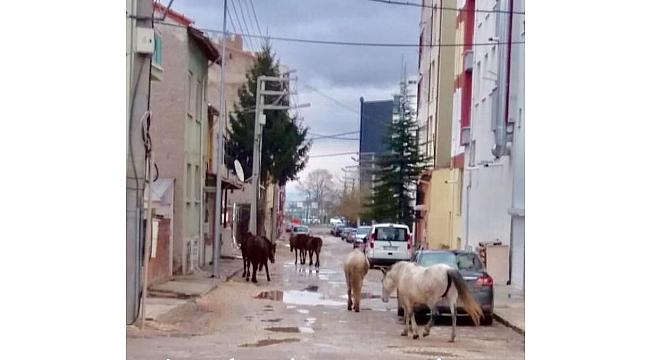 Başıboş atlar sokağa döküldü