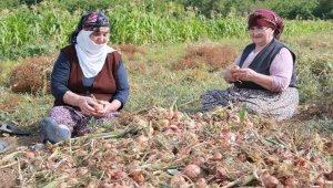 Amasya'da soğan hasadı başladı