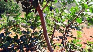 Büyükşehir'den üreticilere alternatif ürün 'Sakız Ağacı'