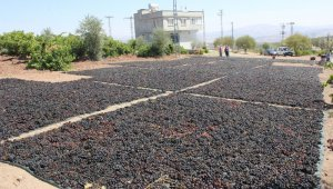'Horoz karası' cinsi üzüm kurutulmaya başlandı