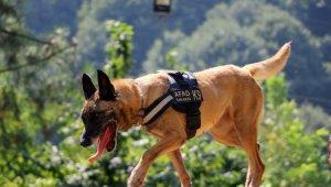 Altın burunlu köpekler AFAD'da yetişiyor
