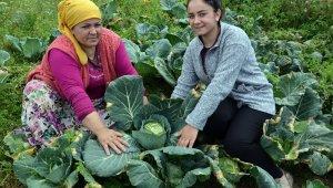 2 bin rakımlı yaylada beyaz lahana hasadı başladı