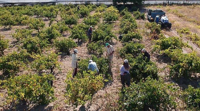 90 bin ton üzüm için Isparta'da hasat zamanı