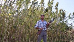 Amerika'dan geldi, Türkiye'de tüfekle koruyarak kenevir üretti
