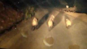 Bingöl'de yaban domuzları köye indi
