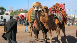 Ayvalık'ta deve güreşleri şöleni