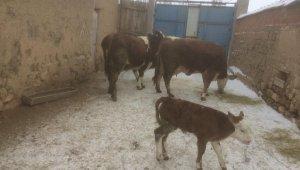 Aslanapa'da 1 yılda yaklaşık 20 bin litre süt üretiliyor