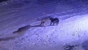 Erzurum'da aç kalan kurtlar köpeği yedi