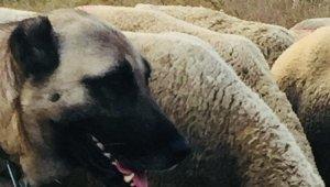 10 bin liralık kangalı çaldılar, bulana kuzu hediye edecek