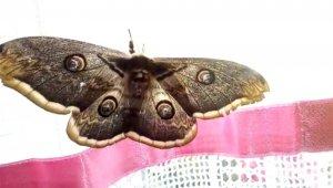 Dev kelebek görenleri şaşırttı