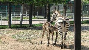 Zebra yavrusu Dilek 3 aylık oldu