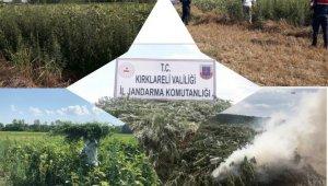 Ayçiçeği tarlasında kendiliğinden yetişmiş 261 bin kök kenevir bulundu