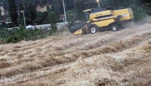 Kavaklıdere'de organik buğday hasadı başladı