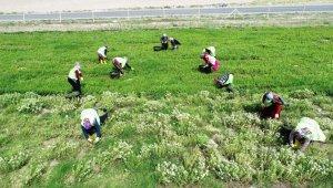 Tarımın merkezi Kocasinan'dan Kayseri'ye yeni bir kazanç kapısı