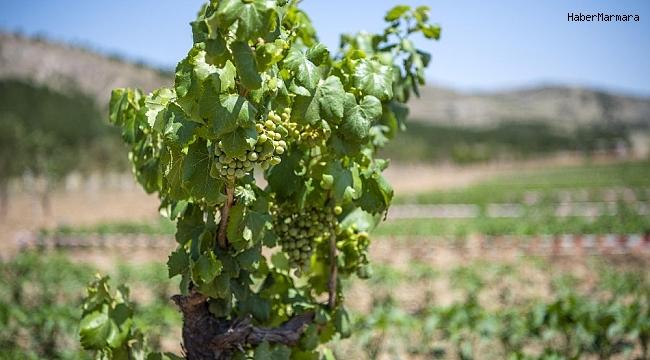 Ekoköy'de ilk hasat yapıldı