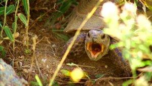 Gezgin öğretmen kaplumbağanın esneme anlarını görüntüledi