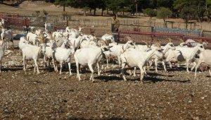 Saanen keçileri hem ormanı kurtardı hem de köylülerin gelirini arttırdı