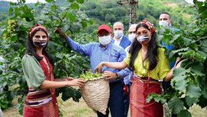 Trabzon'da fındık hasadına başlandı
