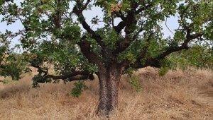 KBÜ Antepfıstığının doku kültürünü ve çoğaltımını sağlayacak