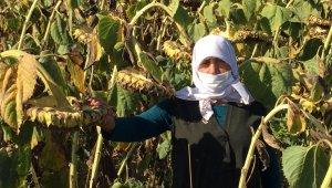 Yağlık ayçiçeği projesinde verimli hasat
