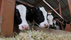 Düzce'de hayvancılık destek ödemeleri başladı