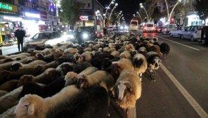 Trafik durdu, koyun sürücü geçti