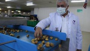 Aydın incirine olan talep her geçen gün artıyor