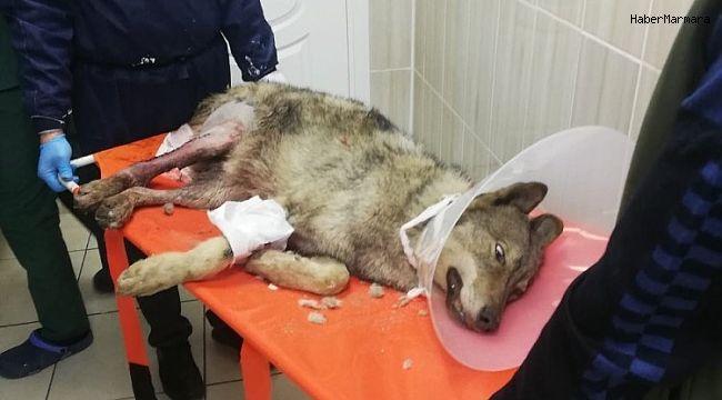 Bacağı kırılan kurt tedaviye alındı