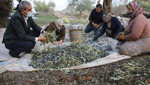 Başkan Kaplan'dan zeytin hasadı yapan üreticilere sürpriz ziyaret