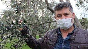 Manisa'da zeytin üreticisinin yüzü güldü