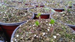 Sera alanında üretimleri gerçekleşen bitkilerin ilk sürgünleri başladı