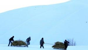 Yüksekovalı çiftçiler soğuk havaya rağmen dağdan kızakla ot taşıyor