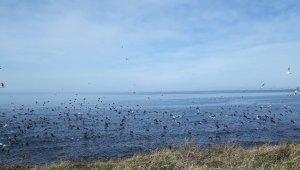 Yüzlerce martı ve karabatak sahilde göç eden balık sürüsüne böyle saldırdı