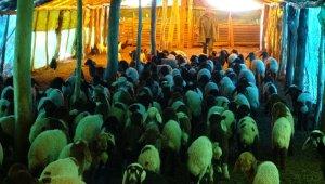 650 bin koyun ve keçinin doğum sezonu devam ediyor