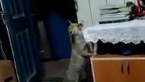 Aç kalınca köye dadanan tilki evlere kadar girip, ikram edilen yiyecekleri yiyor