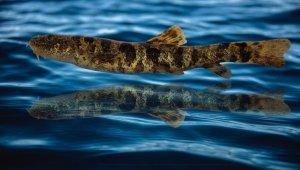 Van Gölü'nde keşfedilen balığa 'Vangölü Küçük Mercan' adı verildi