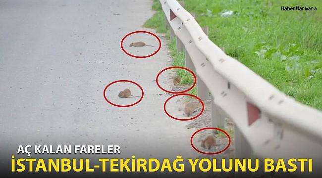 Aç Kalan Fareler İstanbul-Tekirdağ Yolunu Bastı