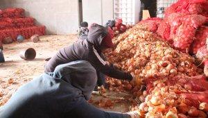 Çiftçiden alınan soğan ücretsiz olarak ihtiyaç sahiplerine dağıtılacak