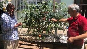 Betonu delen domates görenleri şaşkına çeviriyor