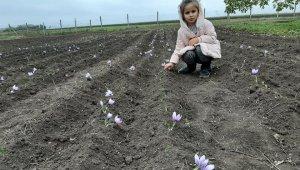 Dünyanın en pahalı baharatı için Gagauzya'da safran tarlası kurdular