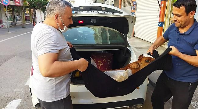 Hasta buzağıyı lüks otomobille kliniğe getirdi