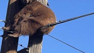 ABD'de elektrik direğinin tepesinde mahsur kalan ayı kurtarıldı