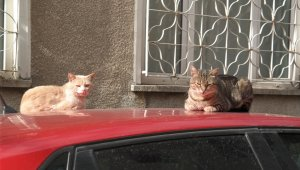 Kedilerin sabah güneşi keyfi