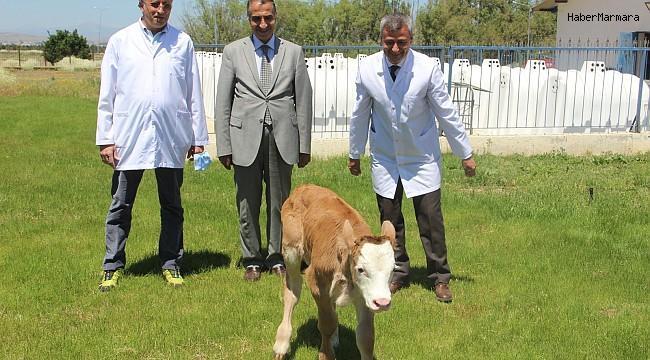Montofon cinsi inek embriyo transferiyle simental cinsi buzağı doğurdu