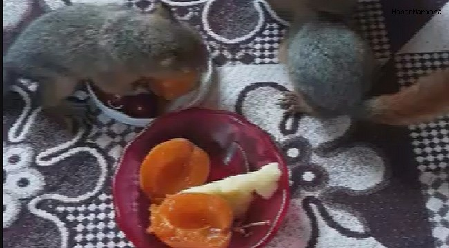 Öksüz kalan yavru sincaplara sahip çıktılar