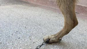 Tasmasının zinciri ayağına saplandı, veteriner hekim şaşkınlık yaşadı
