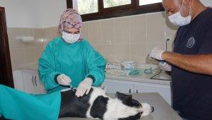 Beypazarı Belediyesi Veterinerlik Birimi ekiplerince sokak hayvanlarının kısırlaştırma işlemleri yapılıyor