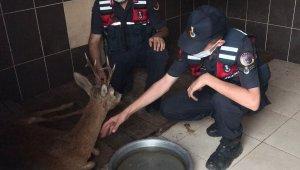 Jandarma yaralı karacayı devriye arabasıyla barınağa taşıdı
