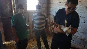 Küçükbaş hayvanlara küpeleme ve aşı çalışması