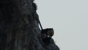 Şile Kalesi'nin yalnız sakinleri; keçiler